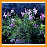 I fiori di Miranda